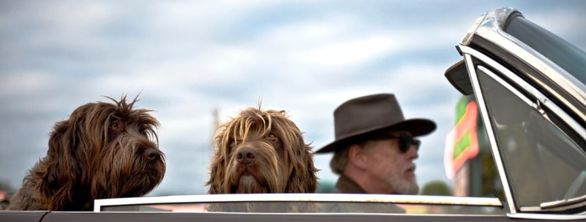 Two dogs and an old man wearing sunglasses in a car